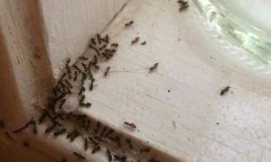 Эффективные средства от муравьёв в квартире