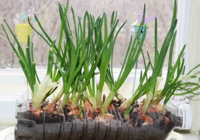 Выращивание лука в земле