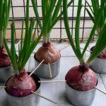 Как вырастить лук на подоконнике — выбор сорта, сроки и способы посадки